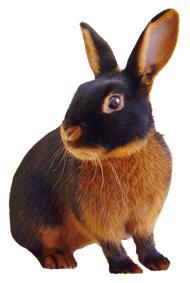 Tan Rabbits
